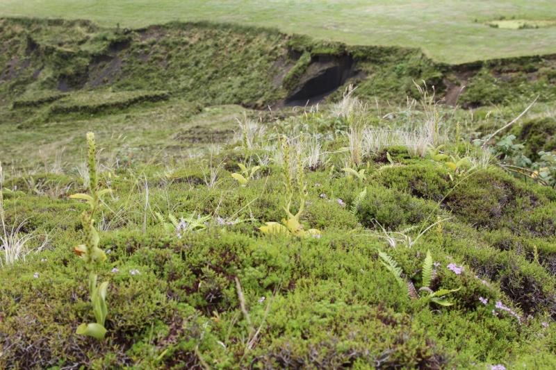 Voyage aux Açores (Sao Miguel) : les platanthères Pied010