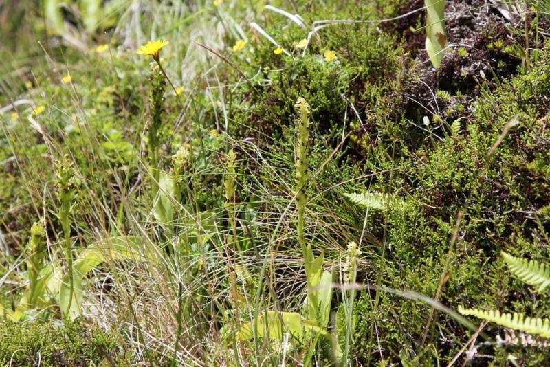 Voyage aux Açores (Sao Miguel) : les platanthères Pied410