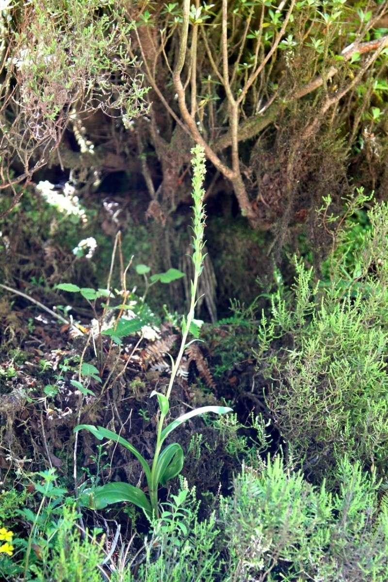 Voyage aux Açores (Sao Miguel) : les platanthères Plat_a10