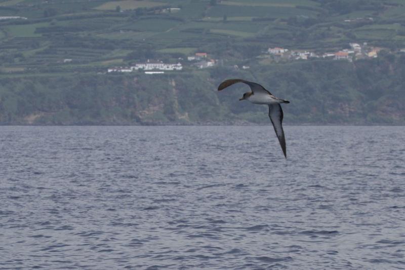 Voyage aux Açores (Sao Miguel) : les platanthères - Page 2 Puff110