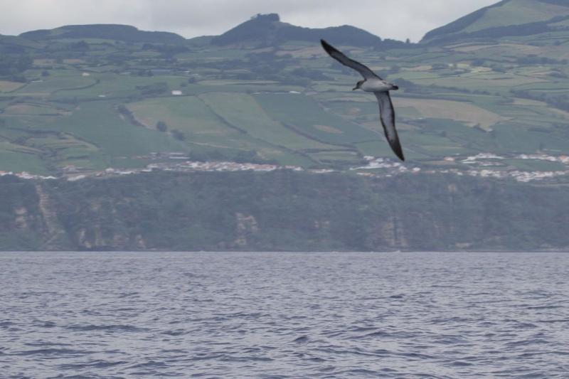 Voyage aux Açores (Sao Miguel) : les platanthères - Page 2 Puff210