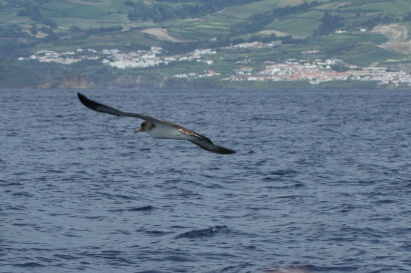Voyage aux Açores (Sao Miguel) : les platanthères - Page 2 Puff510