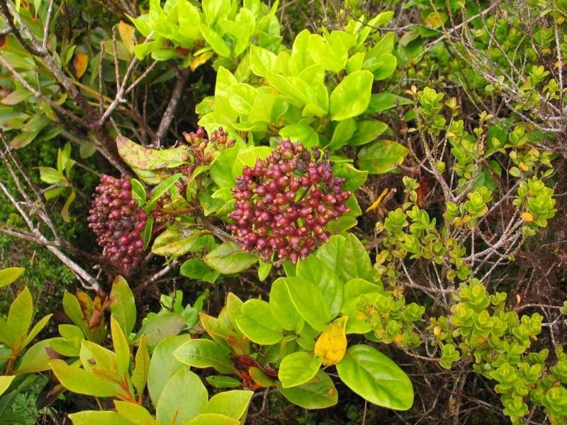 Voyage aux Açores (Sao Miguel) : les platanthères - Page 2 Viburn10