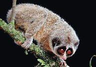 Un primate invisible depuis 60 ans enfin photographié  Lorisg10