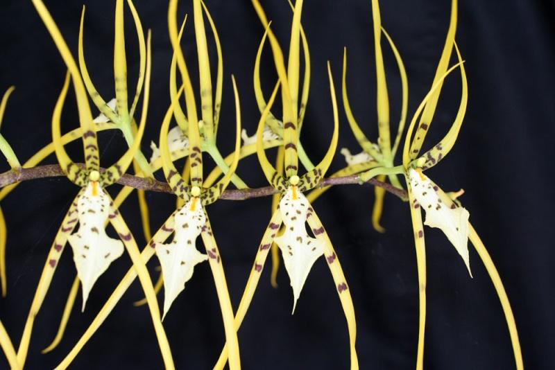 Brassia verucosa Img_6212