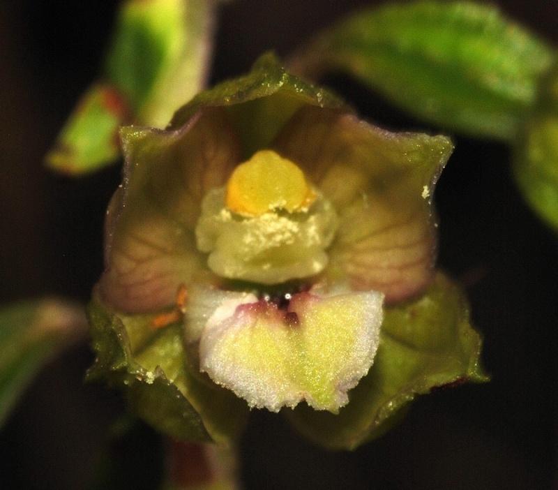 Dactylorhiza fuchsii × Gymnadenia odoratissima  Helleb12