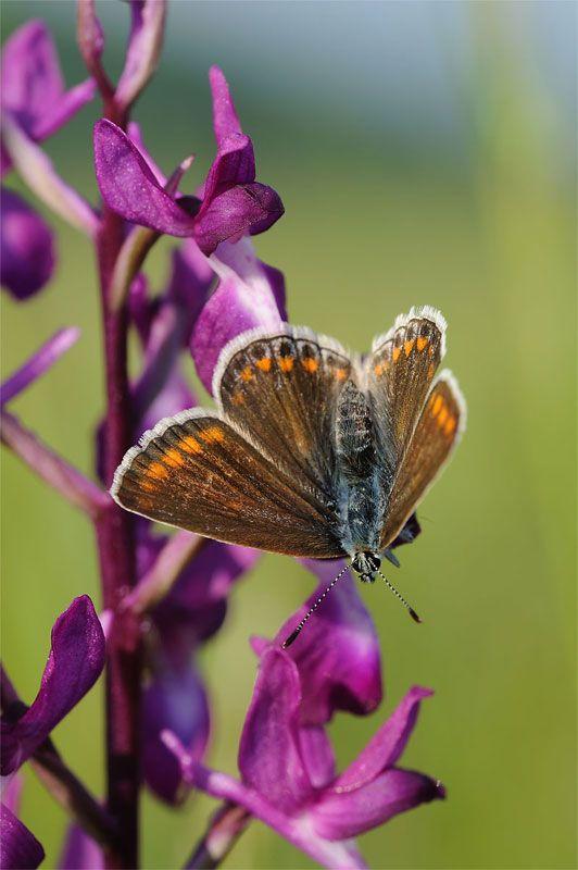 lepidoptère sur laxiflora Dsc_0610