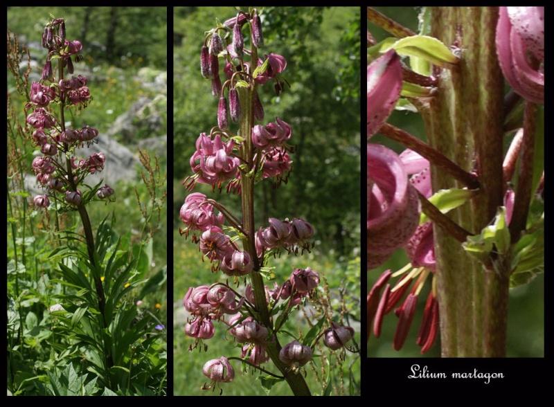 Dactylorhiza fuchsii pléthorique. Lilium10