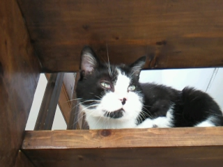 Noé chat noir et blanc mai 2012 FIV+ (ADPK35) Photo015
