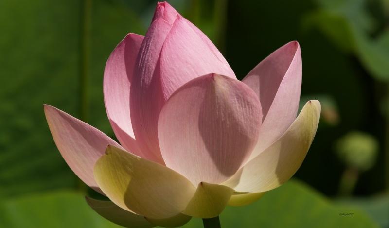 Bouton de fleur de Lotus à peine ouvert  Lotus10