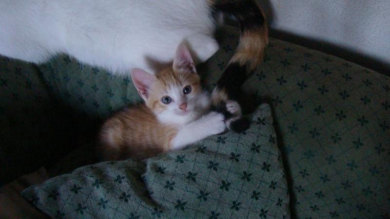 BOOGIE, mâle, tabby roux et blanc, 4 mois, IE 250268731225221 Dsc08917