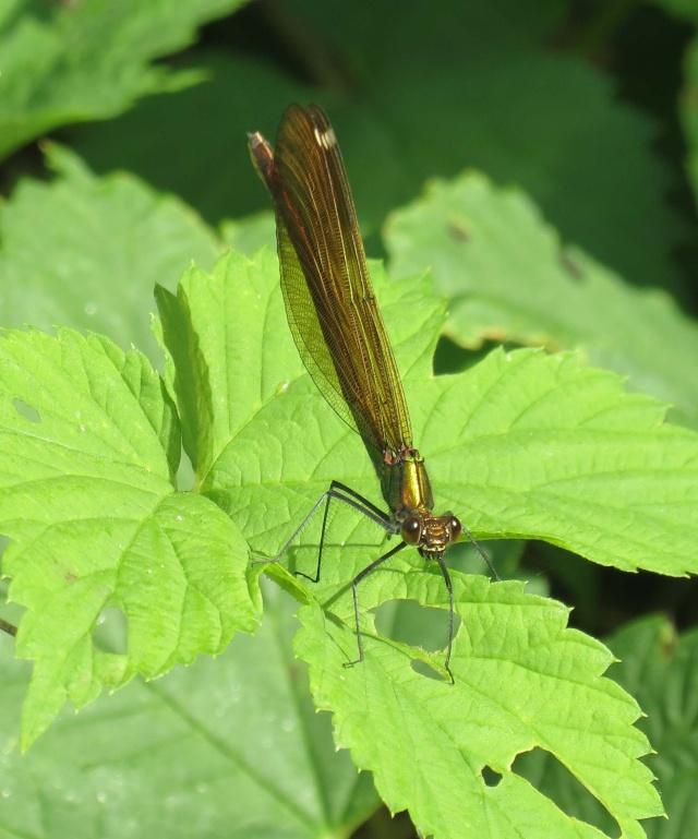 Caloptéryx splendide [Calopteryx splendens] Img_3210