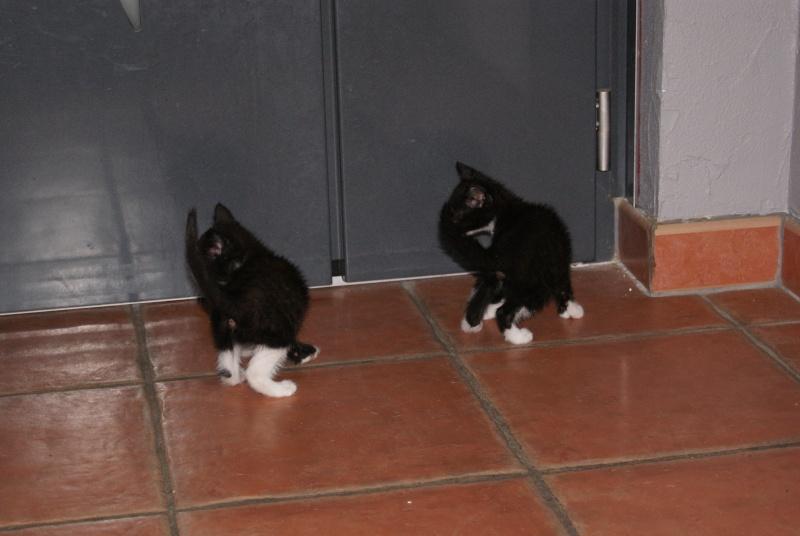 Joubarbe, chaton femelle type européen noire et blanche, née le 18/06/2014 Dsc08118