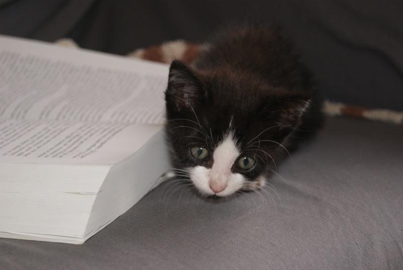 Jacinthe, Chaton femelle type européen, noire et blanche, née le 18/06/2014  Dsc08210