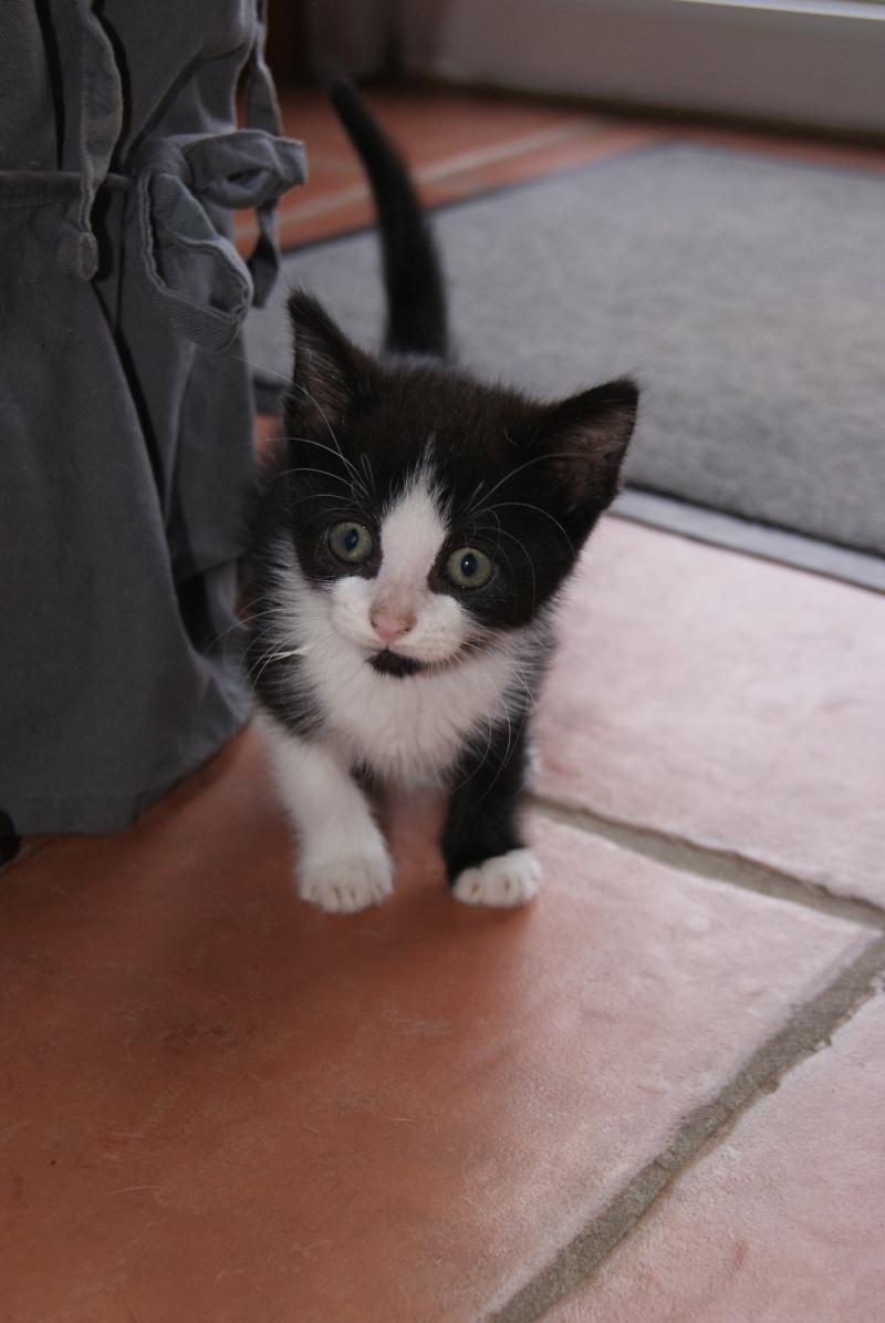 Jacinthe, Chaton femelle type européen, noire et blanche, née le 18/06/2014  Dsc08211