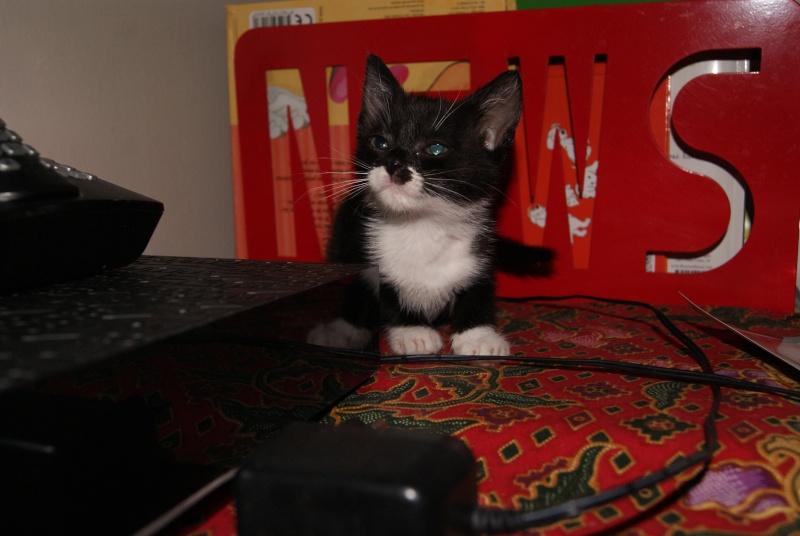 Joubarbe, chaton femelle type européen noire et blanche, née le 18/06/2014 Dsc08212
