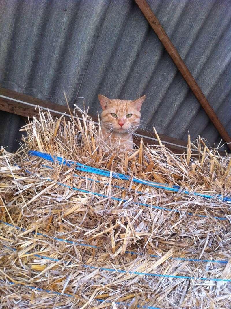 HUGO, chat européen roux, né le 01/05/2012, en sauvetage (frais d'adoption libres) Img_4010
