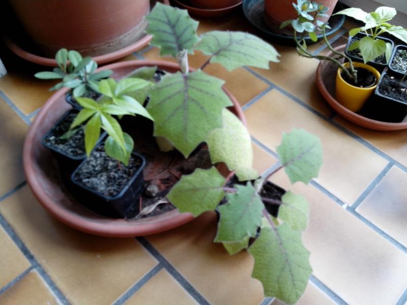 Solanum quitoense Img_2010