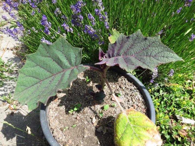 Solanum quitoense Img_6210