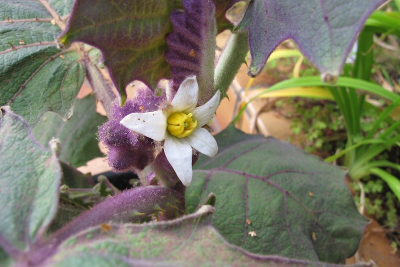 Solanum quitoense Img_8410
