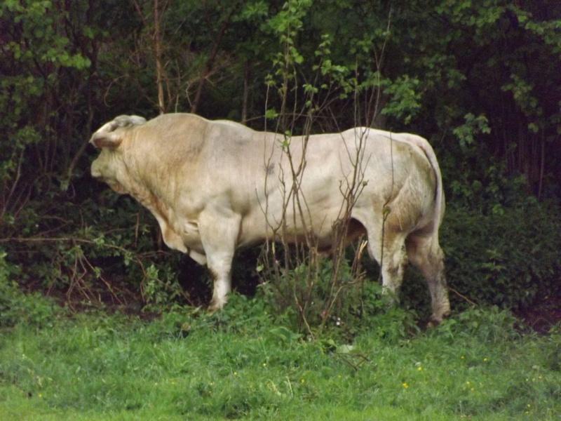 portrait de taureau Taurea12