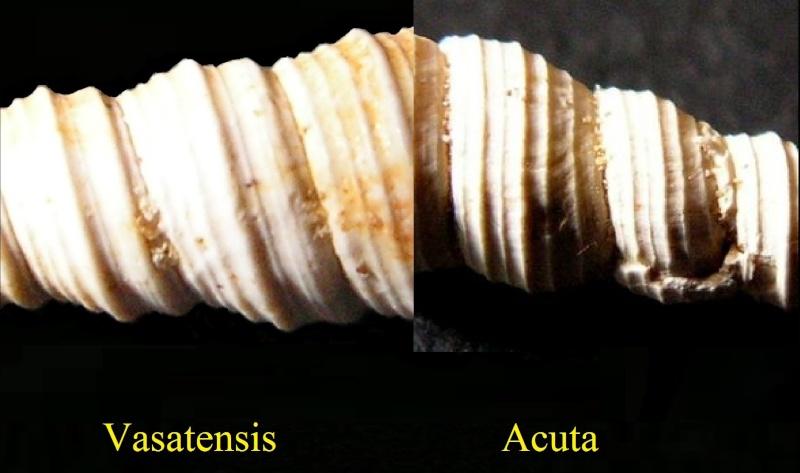 Turritellidae - † Turritella (Haustator) acuta (Mayer, 1858) - Burdigalien Turrva10