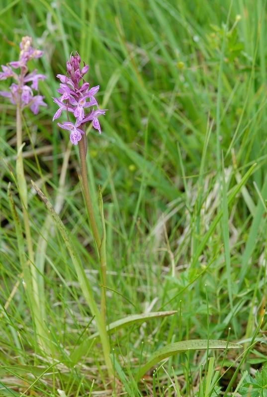 Dactylorhiza majalis x Gymnadenia odoratissima 20080711