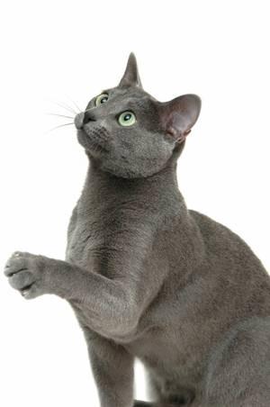 6031e9c2f87e Ollanulus tricuspis   Σπάνια νόσος που μεταδίδεται σε κάποια γάτα αν  «δοκιμάσει»τον εμετό άλλης που περιείχε το παράσιτο. Συναντάται σε  αδέσποτες γάτες και ...