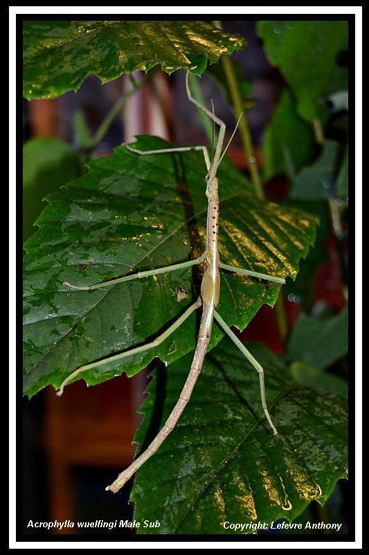 Acrophylla wuelfingi (PSG 13) Achrop10