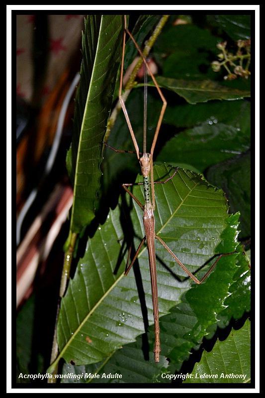 Acrophylla wuelfingi (PSG 13) Achrop11