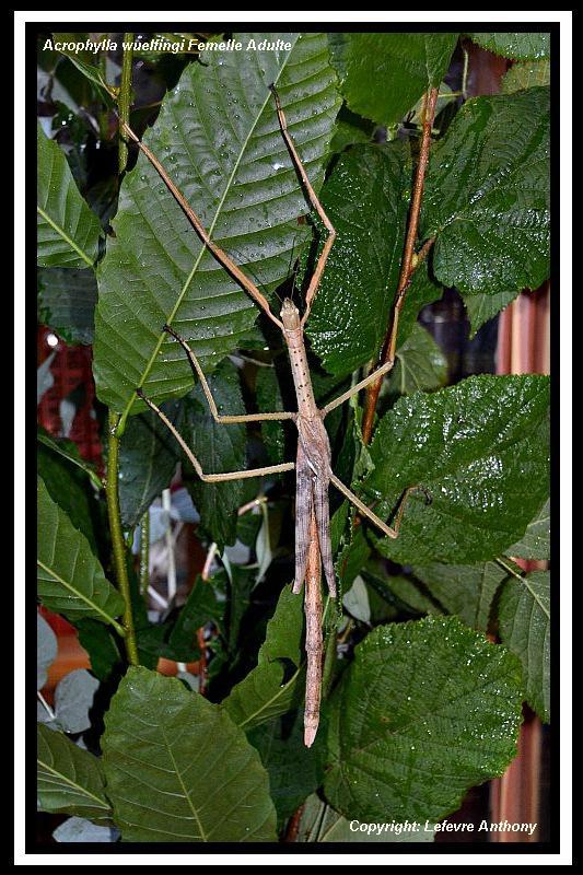 Acrophylla wuelfingi (PSG 13) Acroph13