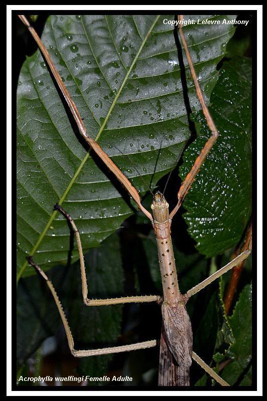 Acrophylla wuelfingi (PSG 13) Acroph14
