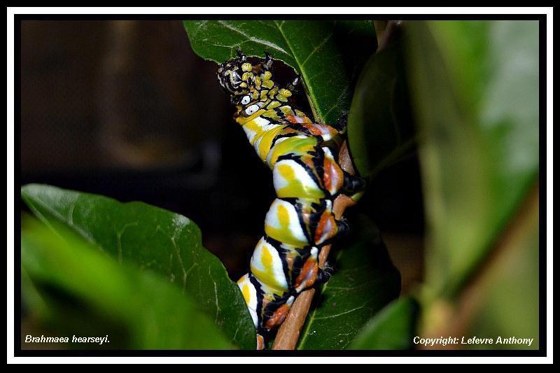 salon entomologie le 23/09/2012 à Escaudoeuvres (59) Brahma12