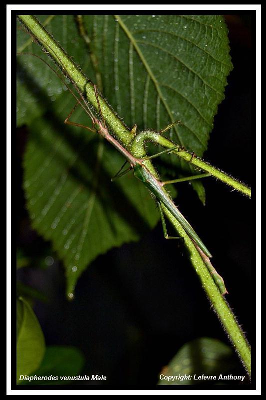 Diapherodes venustula (psg 283) Diaphe14