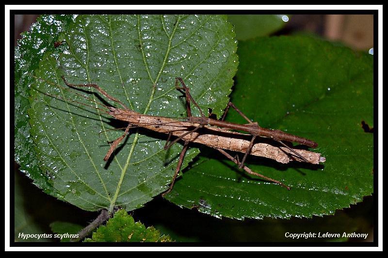 Hypocyrtus ornatissimus  (P.S.G n°307) Hypocy15