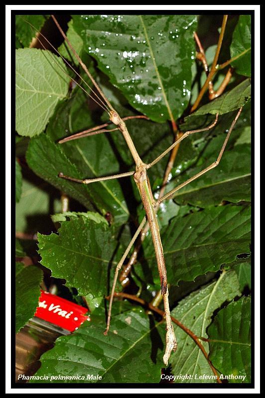 Pharnacia palawanica (PSG ?) Pharna10