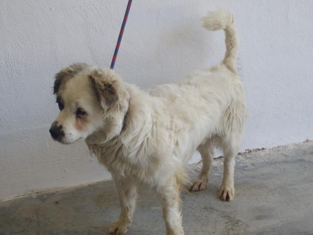 Pelocho mestizo pequeño de cuatro años en perrera- Valencia Peloch10