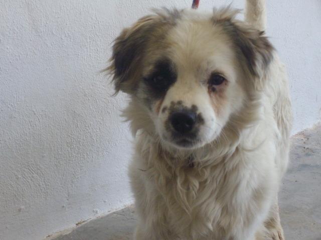 Pelocho mestizo pequeño de cuatro años en perrera- Valencia Peloch11