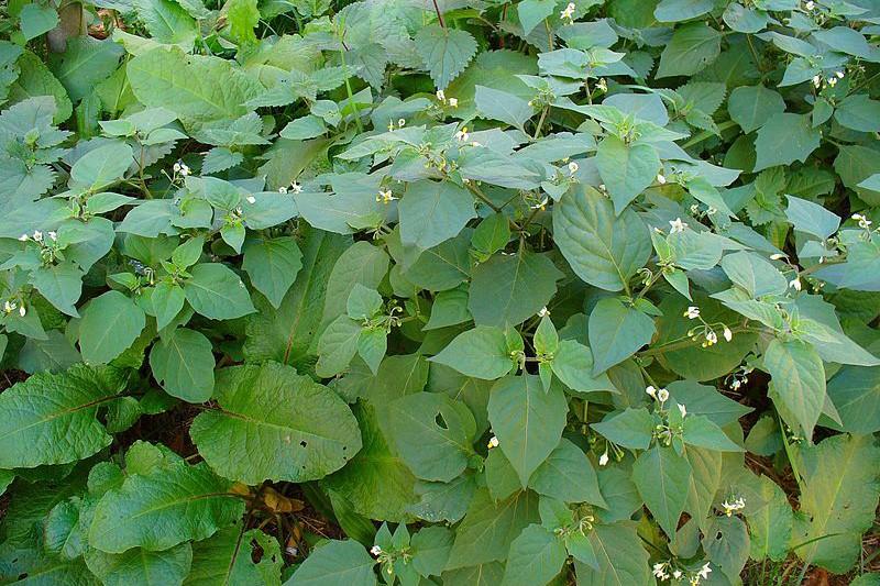 morelle noire / Solanum nigrum Morell10