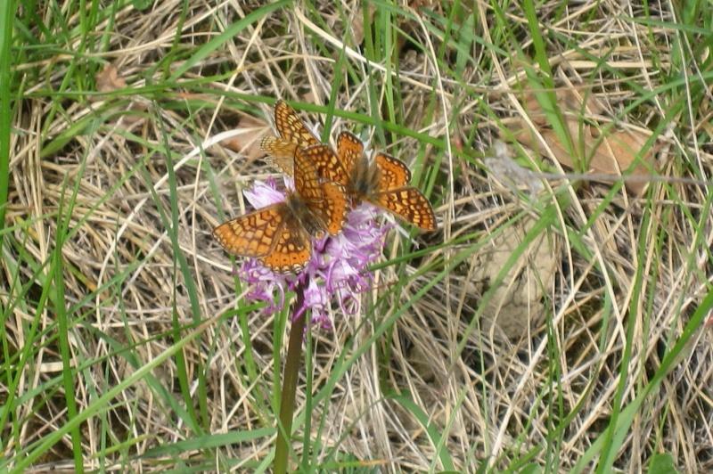 identification papillons  001_im10