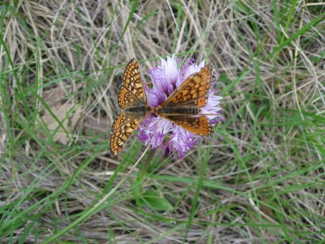 identification papillons  002_im10