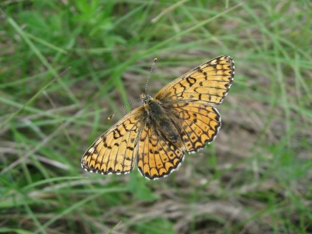 identification papillons  021_im10