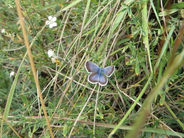 identification papillons 021_im11