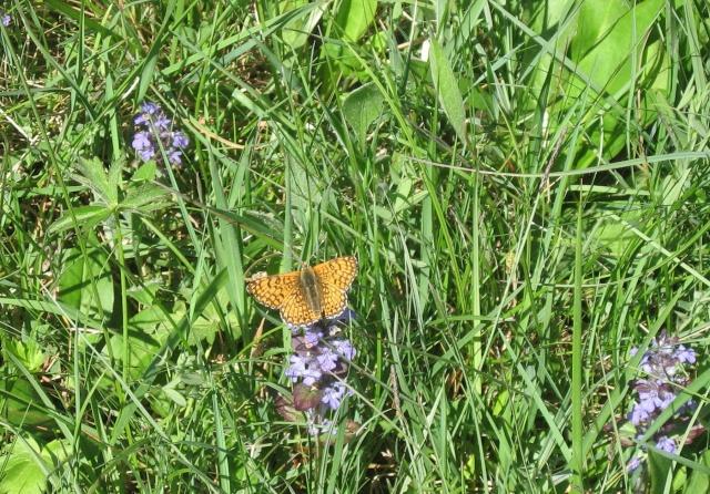 identification papillons  022_4511