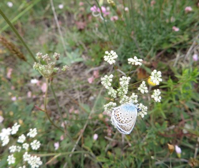 identification papillons 022_im10
