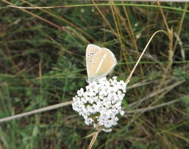 identification papillons 025_im10