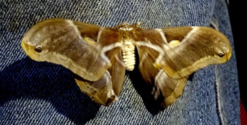 Un papillon de nuit  est venu saluer mon mari Dsc04010