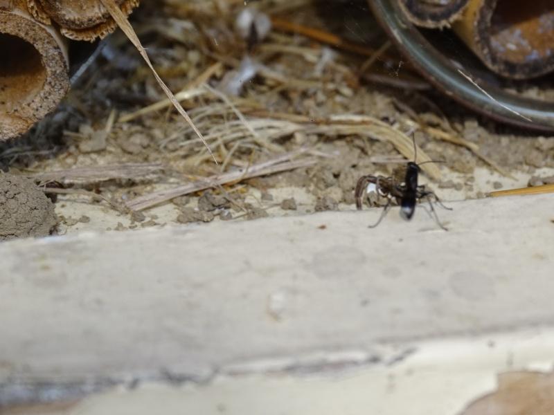 - Transport d'une araignée entière photo illisible sans doute Dsc04710