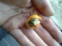 clivia citrina 20140510