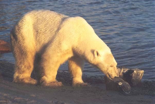 Арктика. Расположение метеостанций. Fauna_10